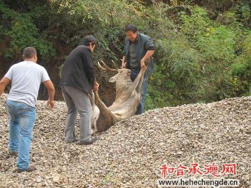承德双桥森林公安局采取保护措施救助一只梅花鹿